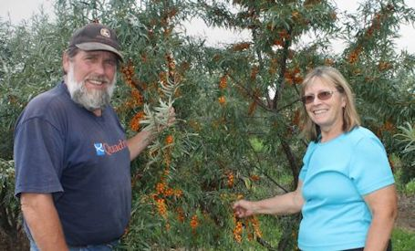 Sea buckthorn berries harvested on farm near Lucknow